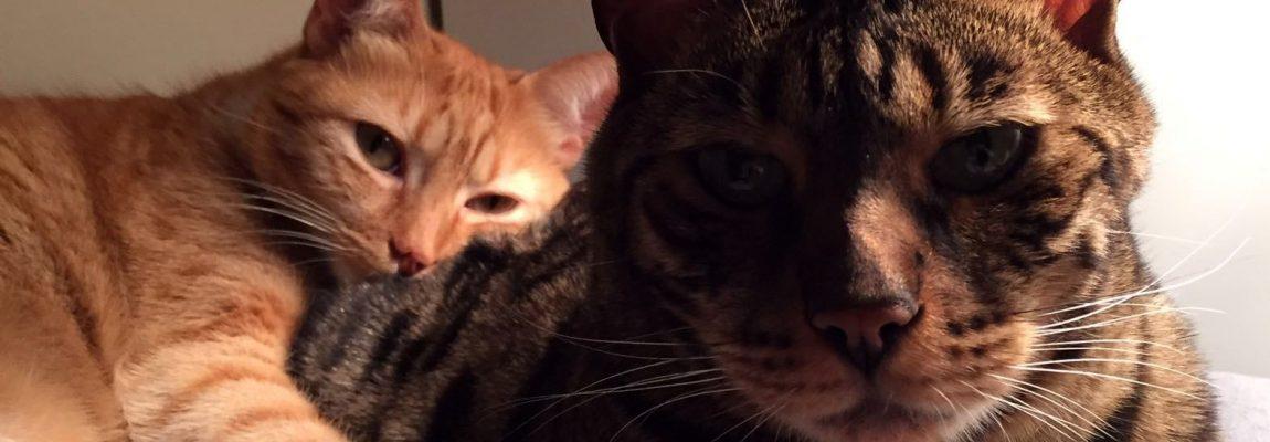 Presentaciones entre gatos, ¿cómo hacerlas?
