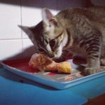 Dieta cruda gatos